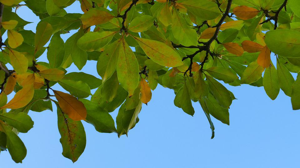 Foliage, Magnolia, Sky, View, Tree, Plant, Garden, Mood