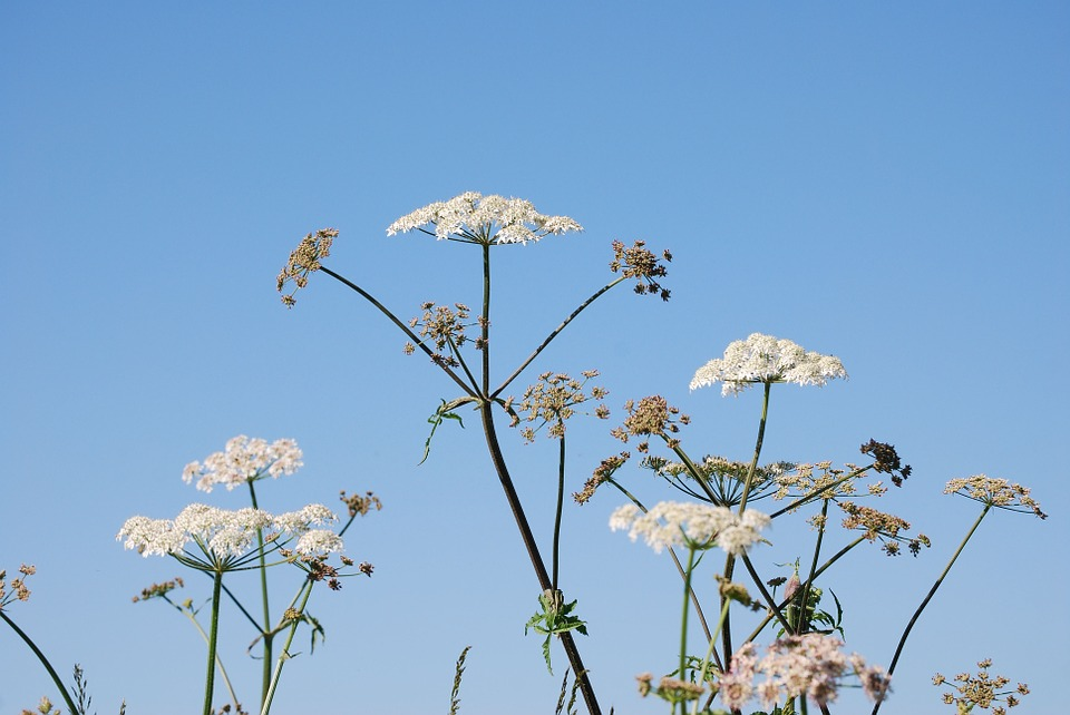 Hogweed, Flower, Sky, White, Flowers