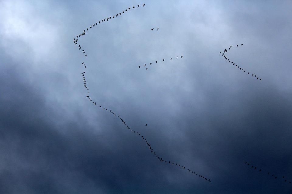Key Birds, Migratory Bird, Migration, Flight, Sky
