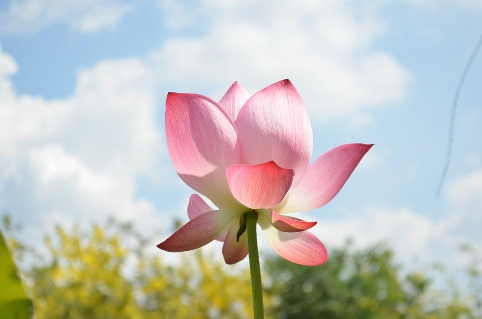 Lotus, Sky