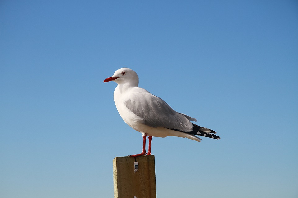 Sea Gull, New Zealand, Sky, Bird, Nature, Gull