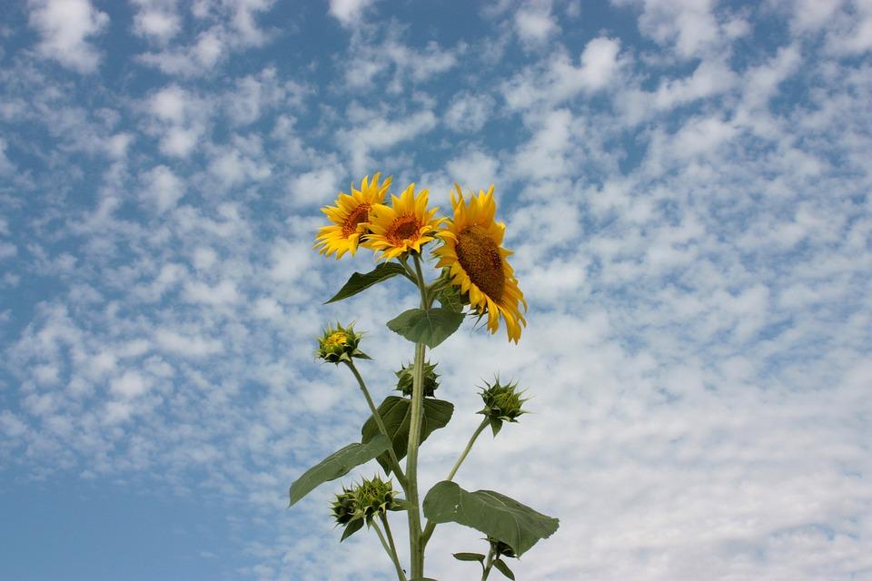 Sunflower, Sky, Clouds, Nature, Flower, Blue, Yellow