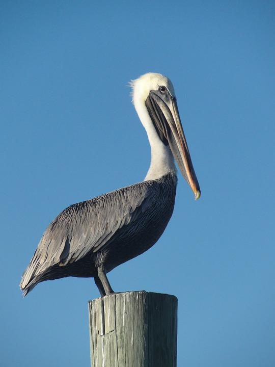 Bird, Pelican, Fence, Sky, Beak, Harbor, Harbour