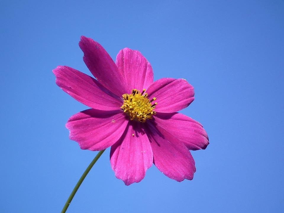 Flower, Sky, Pink, Summer Flowers, Flowers, Blue Sky