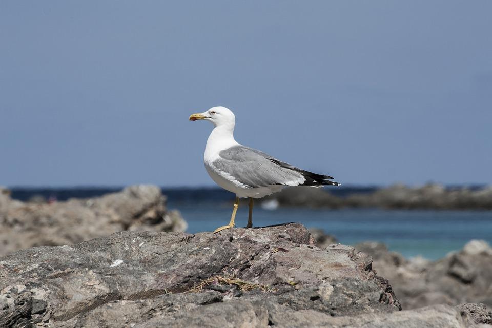 Seagull, Stintino, Sea, Rocks, Birds, Nature, Sky, Bird