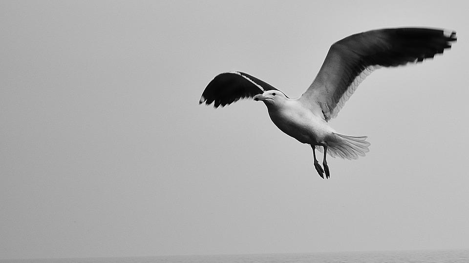 Seagull, Sky, Black And White