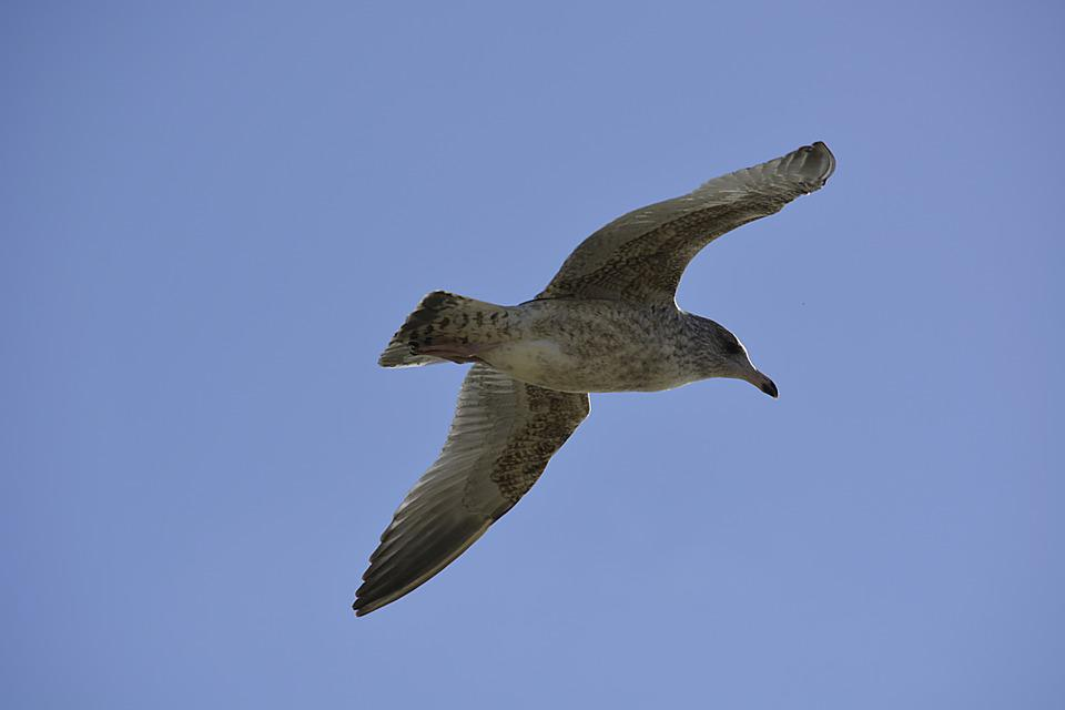 Bird, Flight, Sky, Nature, Seagull, Animal, Silver Gull