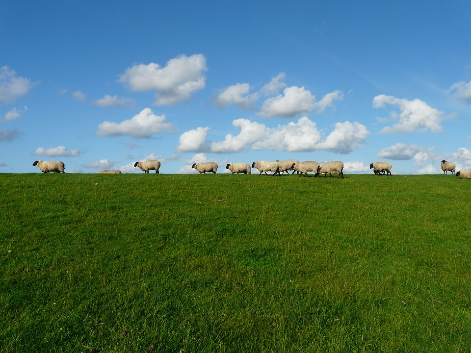 Sheep, Flock Of Sheep, Series, Standing On, Sky, Clouds
