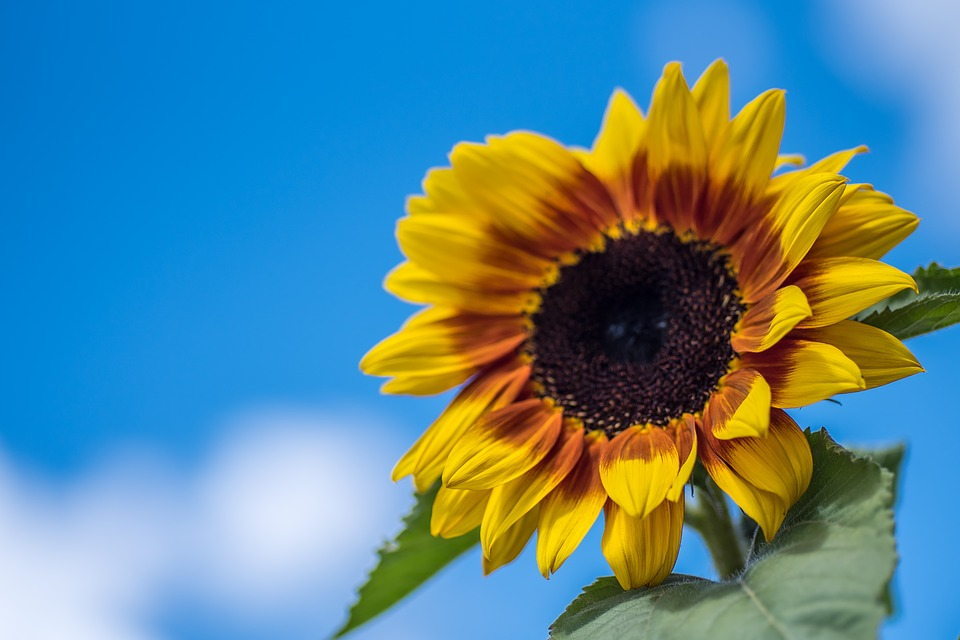 Sunflower, Nature, Yellow, Natural, Bright, Sunny, Sky