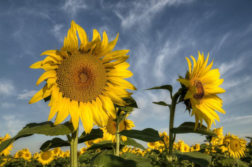 Sky, Clouds, Sunflowers, Outdoors