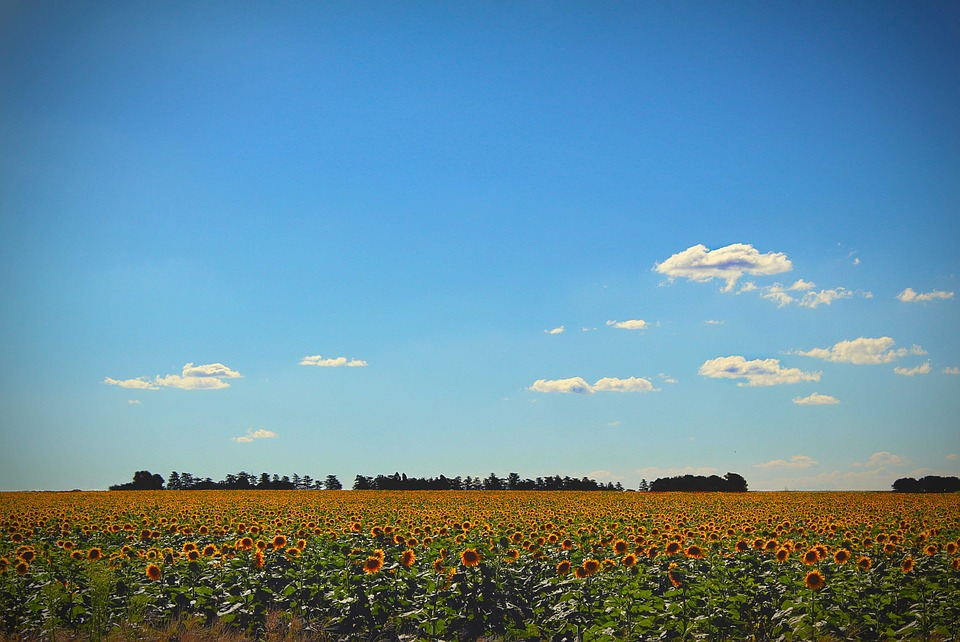 Sunflowers, Sky, Yellow, Flower, Sunflower Field