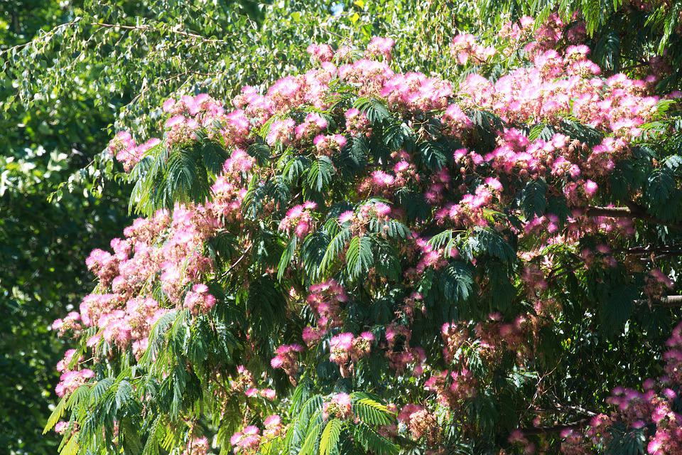 Flowers, Pink, The Silk Tree, Top, Nature, Leaves, Sky