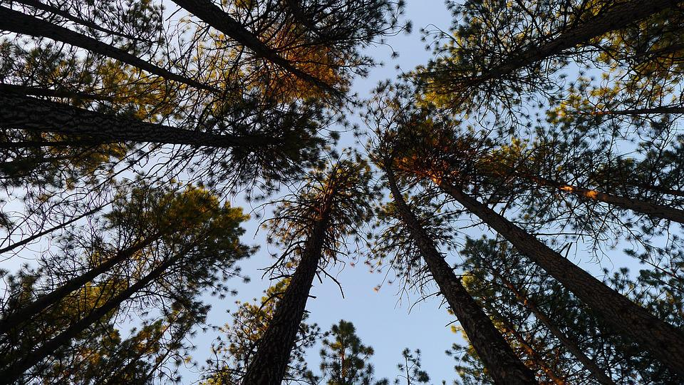 Trees, Pine Trees, Sky, Tree Background