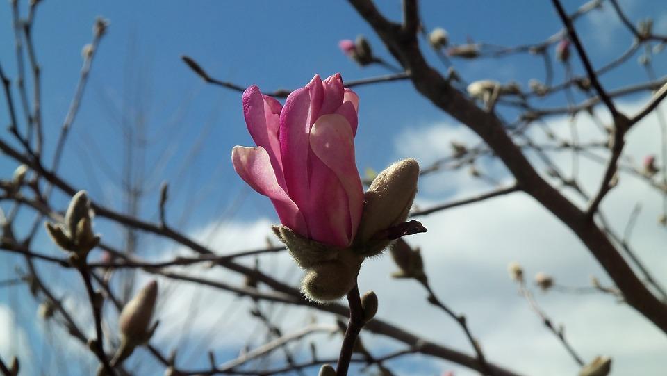 Magnolia, Pink, Flower, Tree, Bloom, Spring, Sky