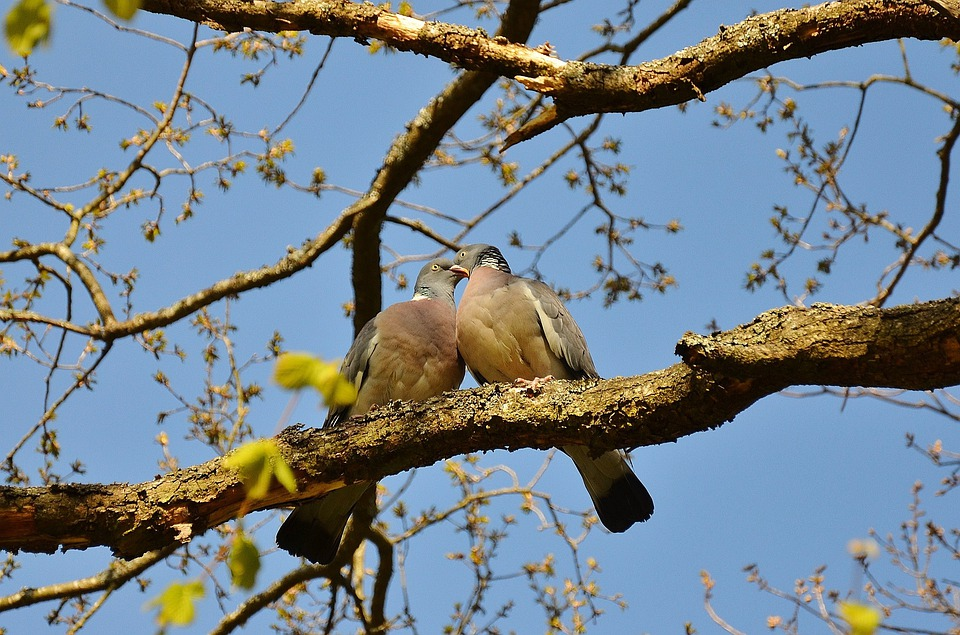 Pigeons, Couple, Pair, Twosome, Birds, Animals, Sky