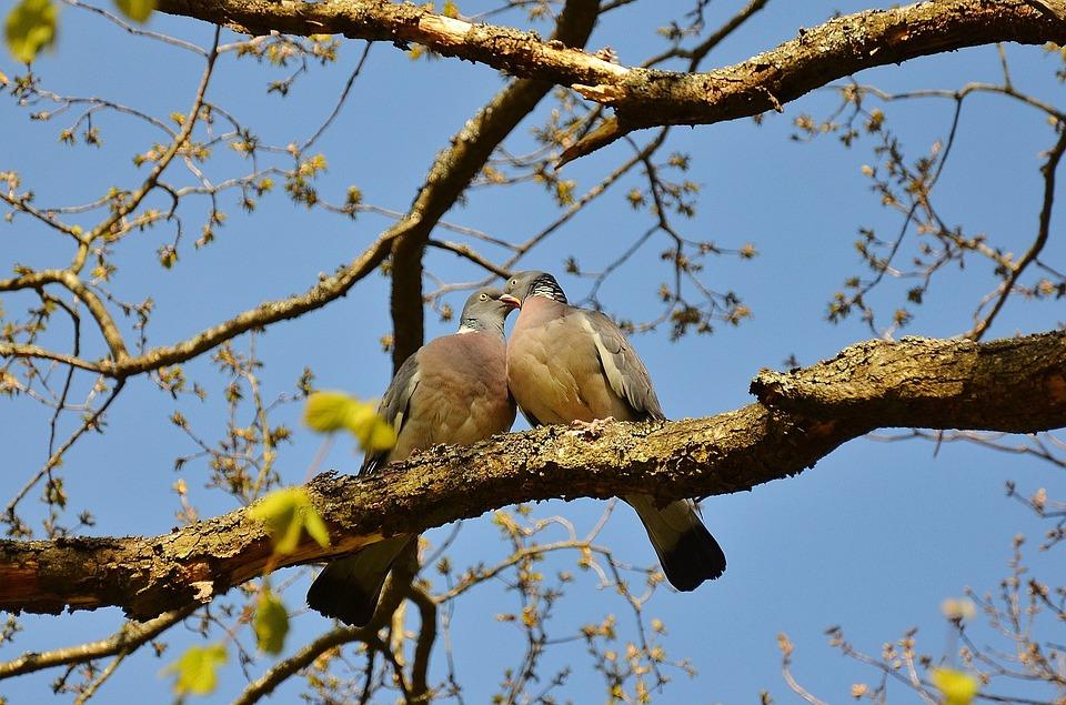Pigeons, Couple, Pair, Twosome, Birds, Animals, Sky