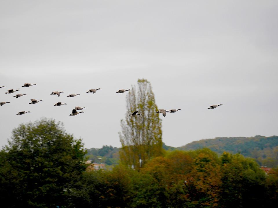 Birds, Migratory Birds, Geese, ökosee, Wild Geese, Sky