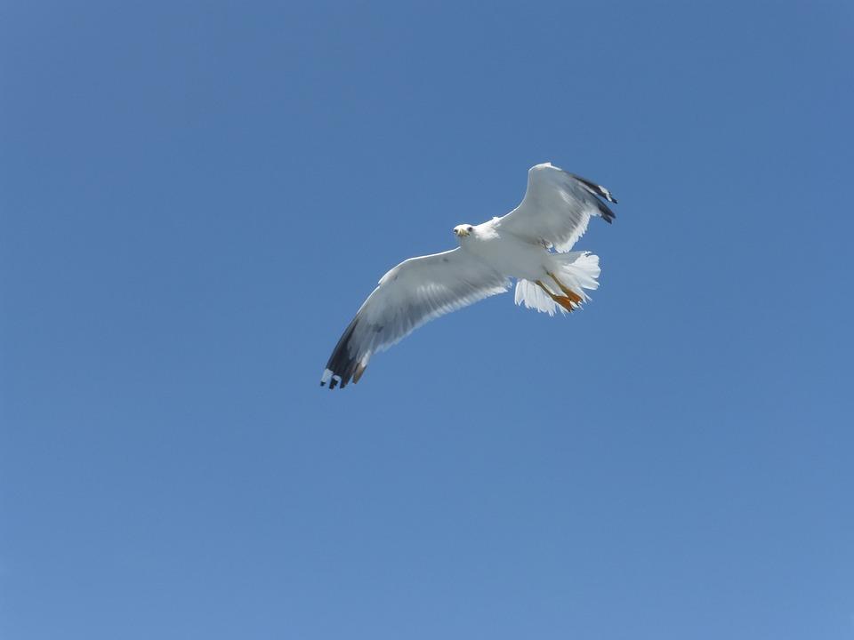Sea Gull, Gull, Bird, Flying, Sky, Blue, Wildlife