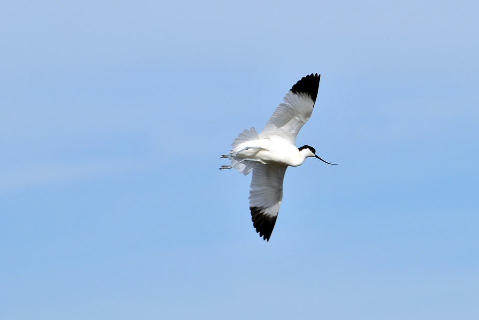 Avocets, Marshes, Birds, Wings, Flight, Sky