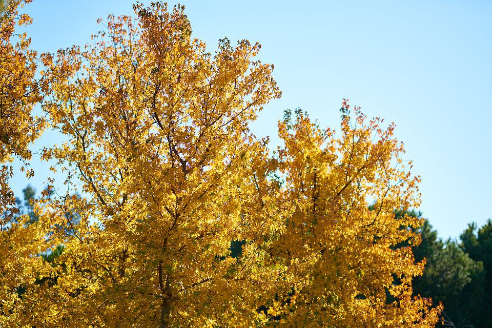 Tree, Plant, Leaves, Yellow, Dried Up, Dry, Blue, Sky
