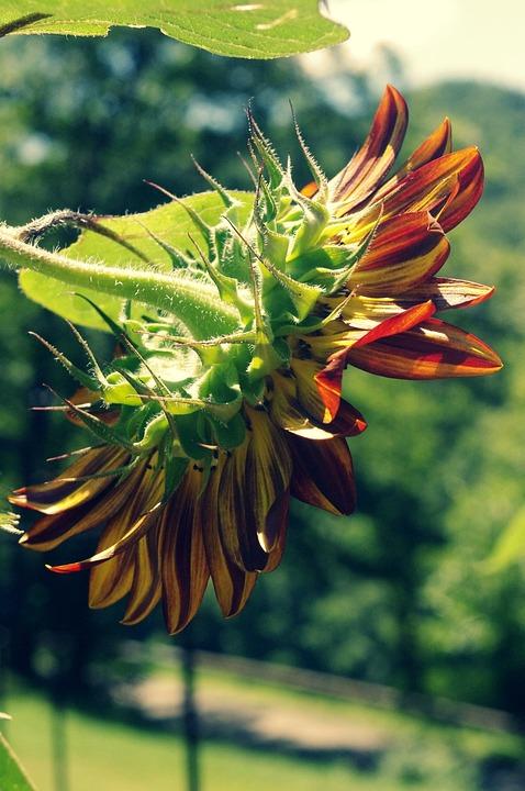 Sunflower, Sun, Nature, Yellow, Summer, Flower, Sky
