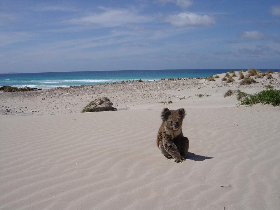 Koala, Beach, Alone, Animal, Bear, Sleaford, Sandhill