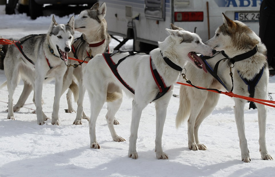 Sled Dog Racing, Start, Competition, Championship
