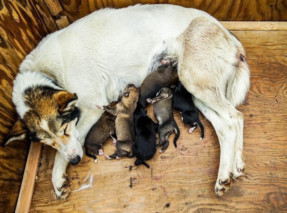 Sled Dog, Puppies, Dog Sled, Sled, Sledding, Mother Dog