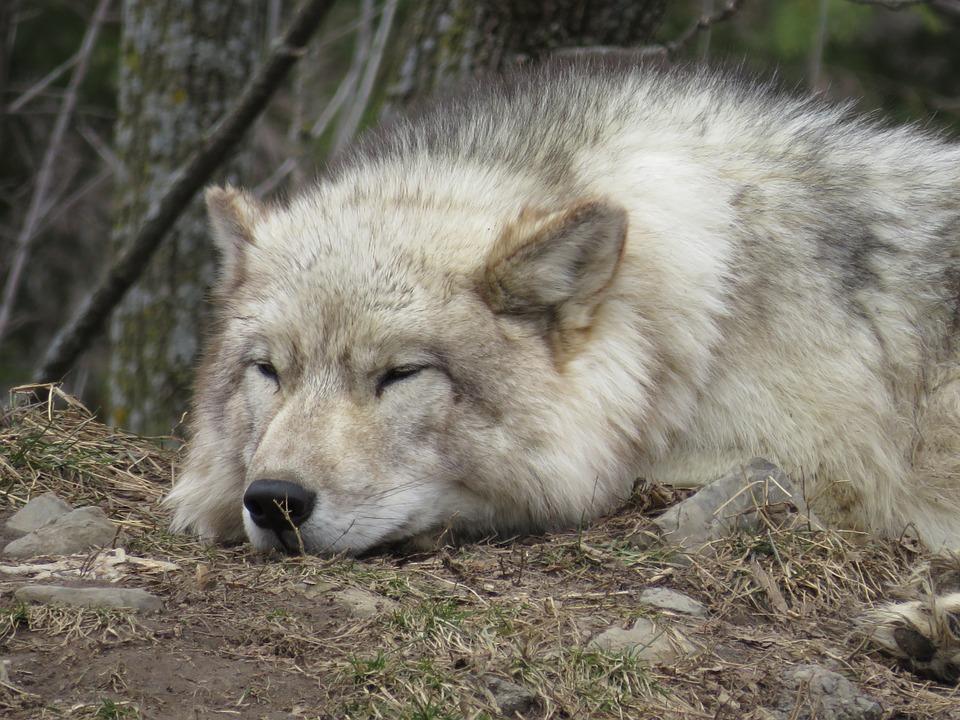 Wolf, Tired, Sleep, Animal, Sleeping, Relaxed, Fur