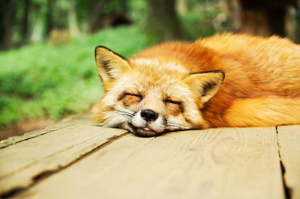 Animal, Fox, Cute, Sleeping, Sleep, Sleep Deprivation
