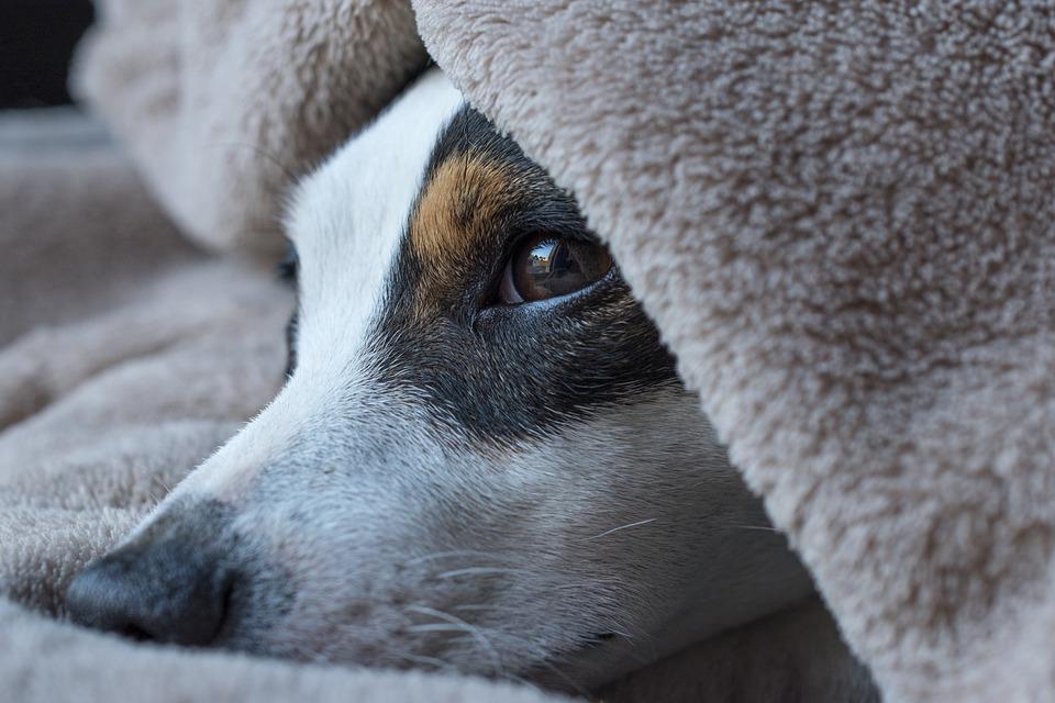 Dog, Jack Russel, Sleep, Look, Terrier, Cute, Russel