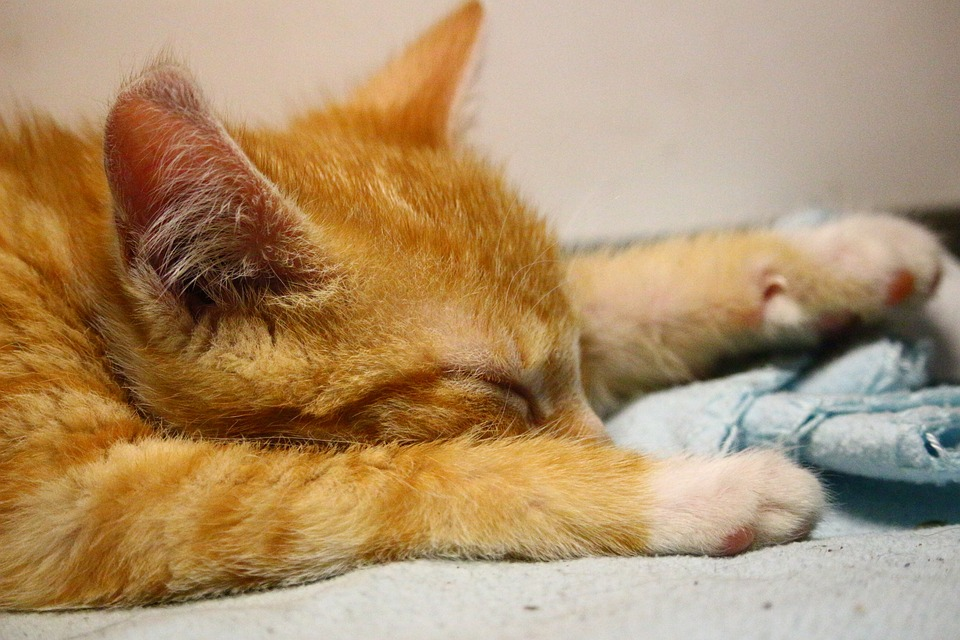Cat, Kitten, Cat Baby, Sleep, Fur, Red Cat