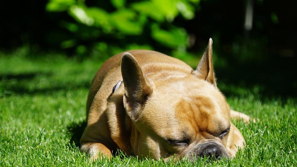 French Bulldog, Dog, Sleeping, Out, Rush, Grass, Green