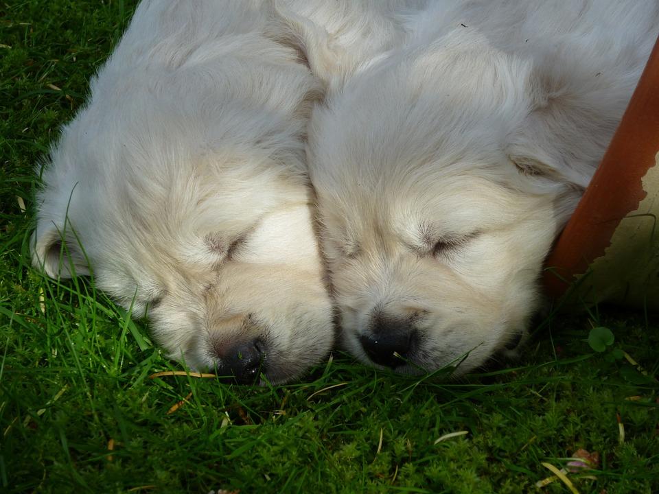 Golden Retriever, Puppy, Dog, Sleeping