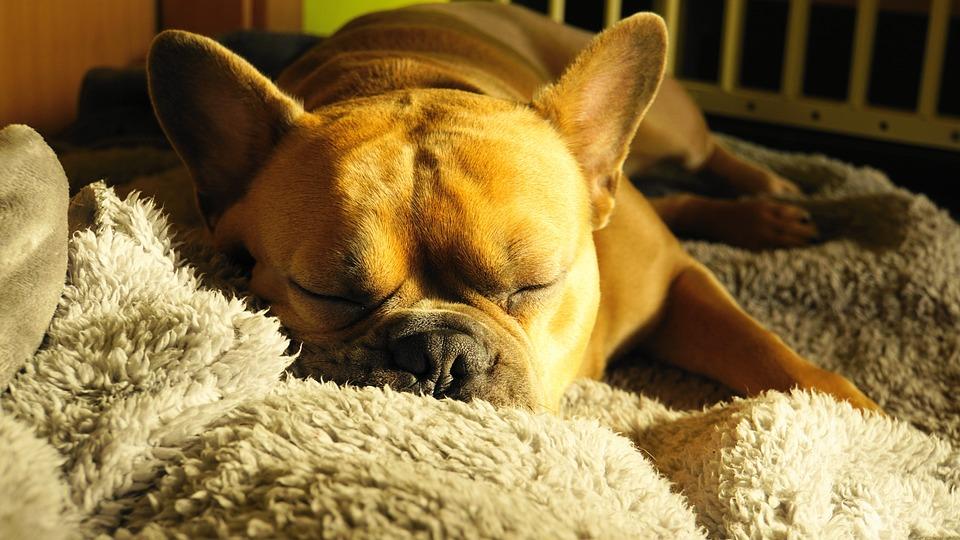 French Bulldog, Dog, Sleeping, Pet, Sweet, Animal