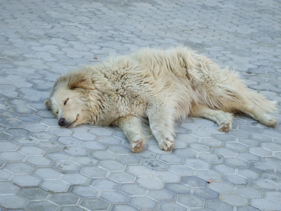 Stray Dog, Sleeping, Dog, White, Animal