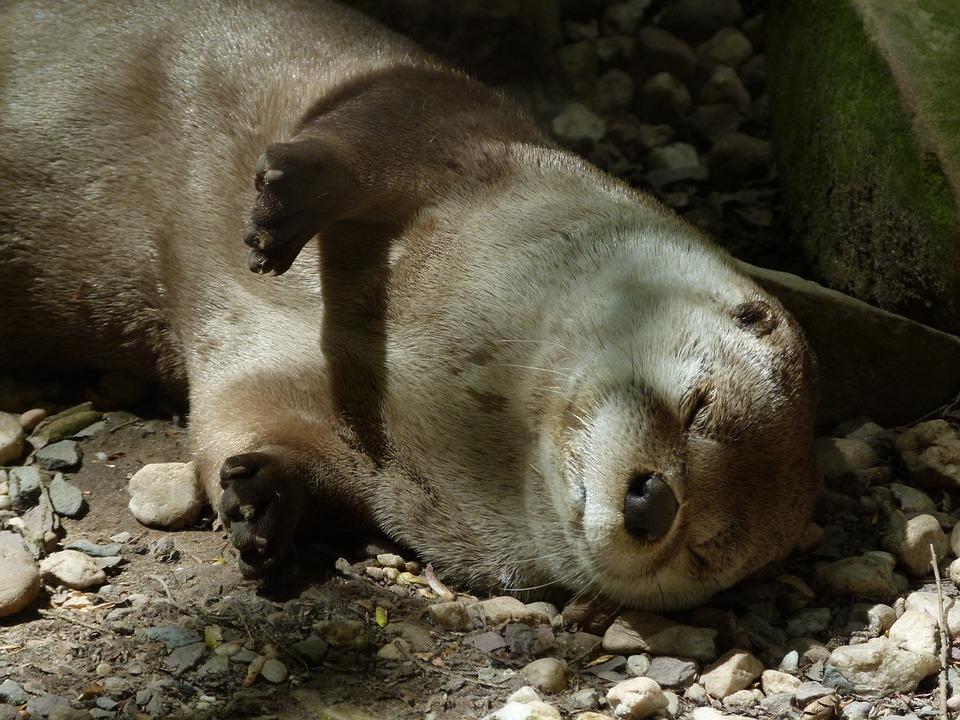 Otter, Sleeping, Wildlife, Mammal, Nature, River, Cute