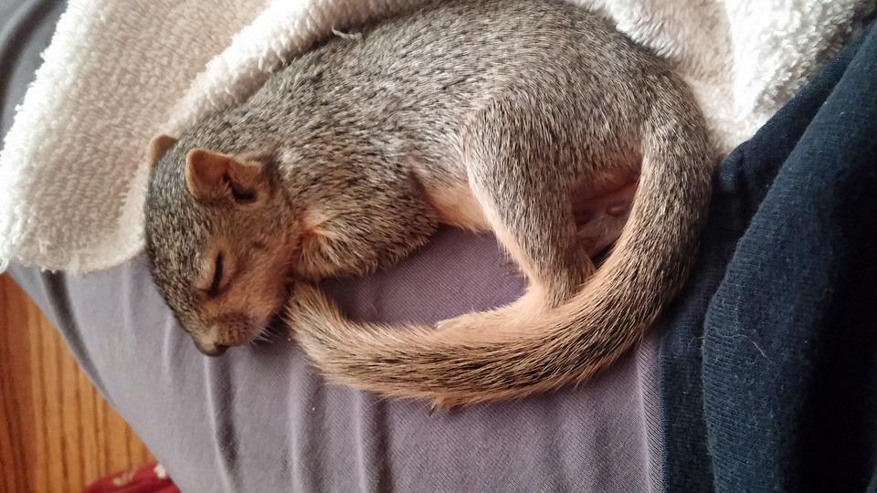 Sleeping Squirrel, Squirrel, Wildlife, Animal, Cute