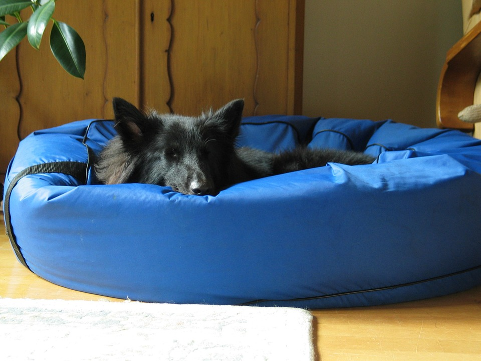Dog, Sleeps, Tired Of The, Ears, Groenendael, Pet