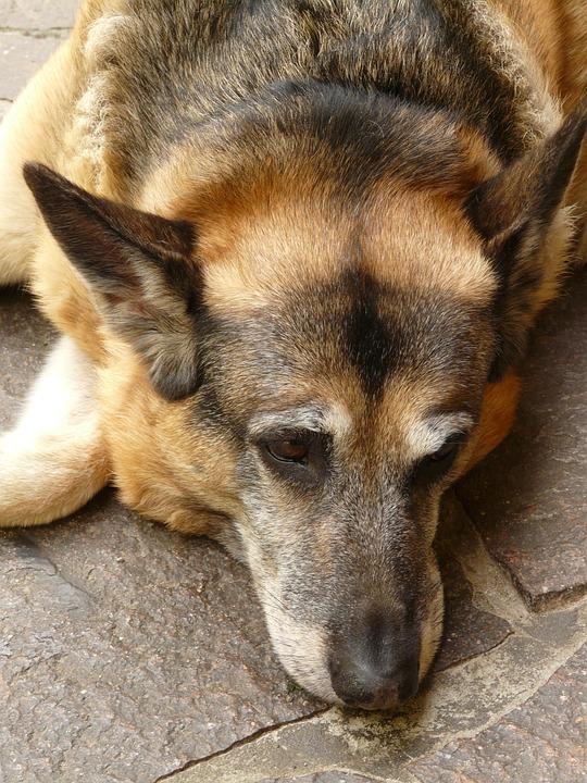 Dog, Schäfer Dog, Animal, Rest, Sleepy, Fur