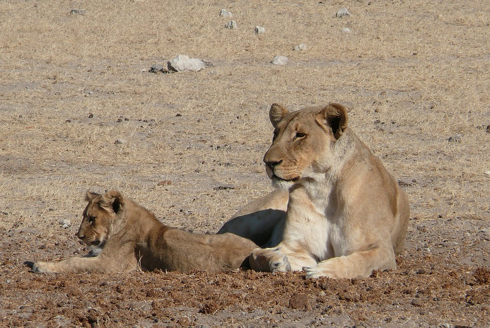 Lion, Africa, Sleepy Lion