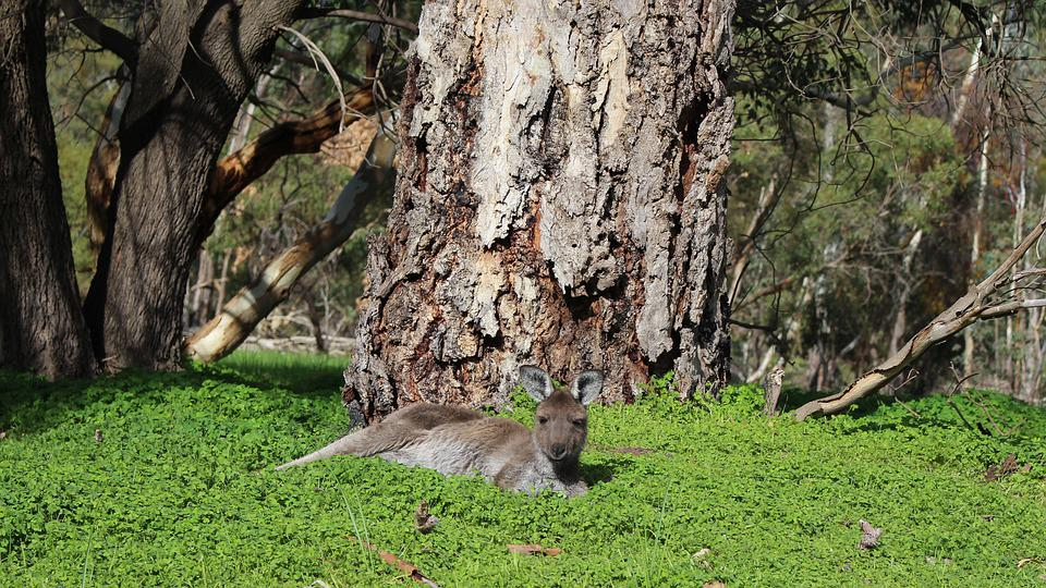 Kangaroo, Marsupial, Sleepy, Resting, Tree Trunk, Thick