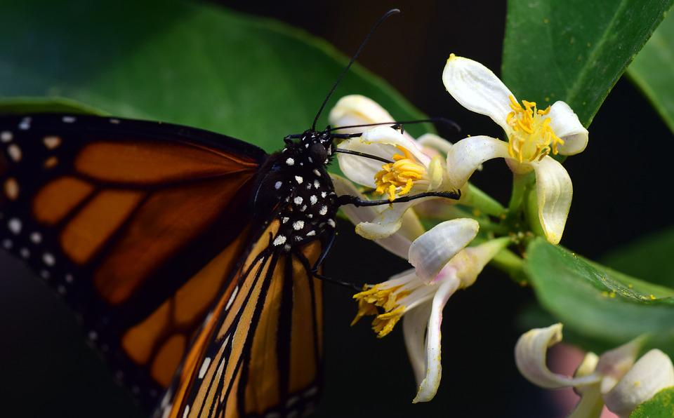 Monarch, Wing, Food, Nectar, Fly, Slightly, Tropical