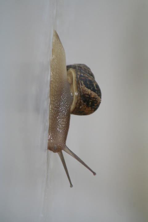 Snail, Slug, Crawl, Pest, Garden, Mollusca, Land, Slimy