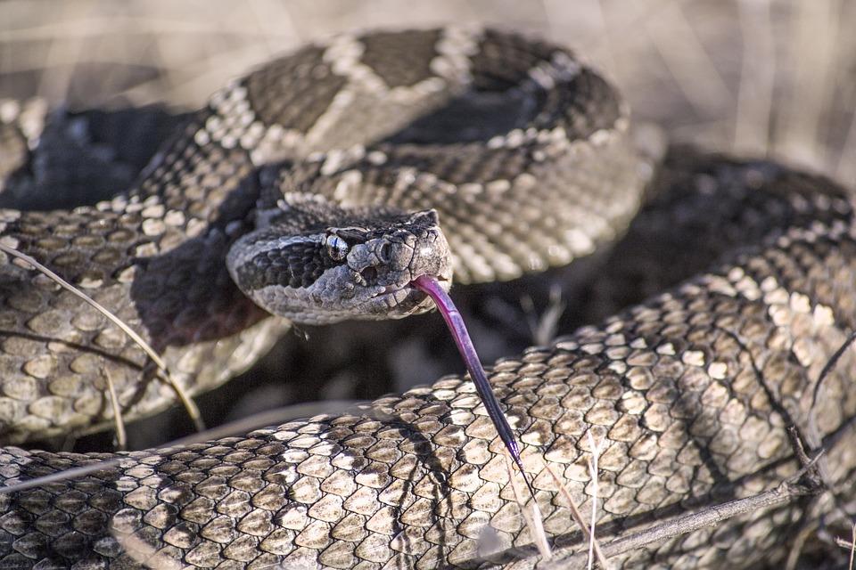 Snake, Rattlesnake, Rattle, Desert, Slither, Tongue