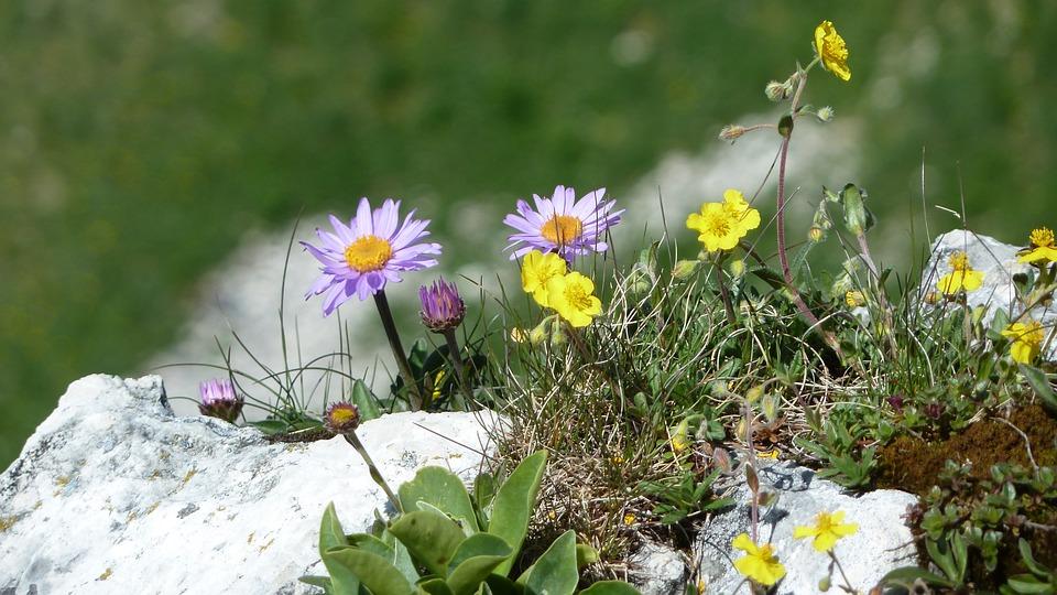 Flowers, Spring, Mountain Flowers, Rock, Slope, Meadow