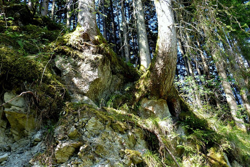 Tree Roots, Forest, Rock, Slope