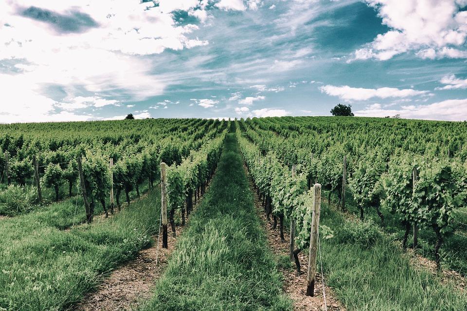 Vineyard, Vine, Vines, Slope