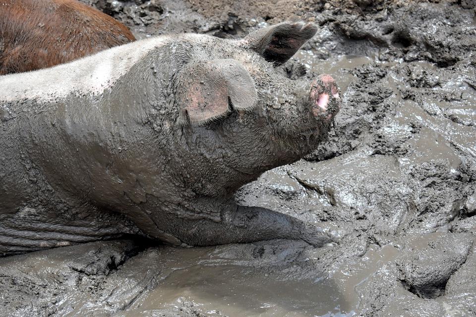 Pig, Slop, Fat, Slops, Animal, Farm, Livestock, Mud
