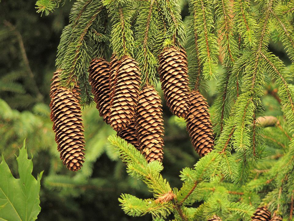 Cone, Tree, Needles, Conifer, Forest, Flower, Slovakia
